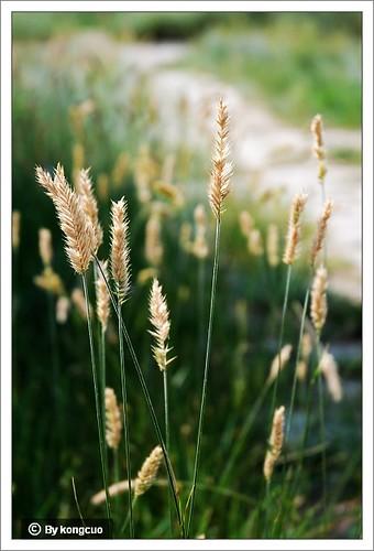 内蒙古植物照片-禾本科冰草属冰草