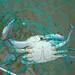Small photo of Carolina Blue Crab