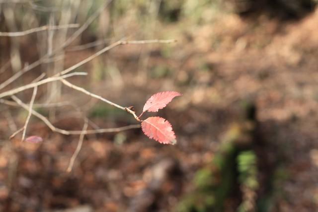 箱根 晩秋の残り葉