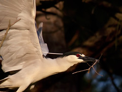 black-crowned-night-heron-takes-off-with-branch