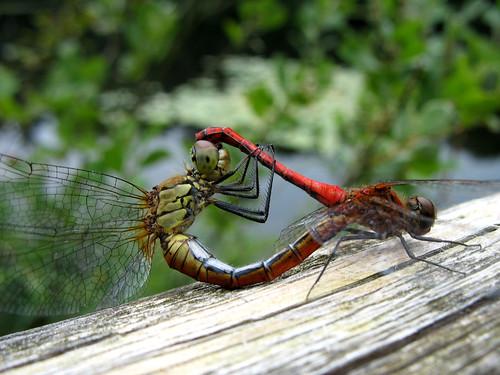 Dragonfly Vagrant Darter (Mating) - Sympetrum vulgatum