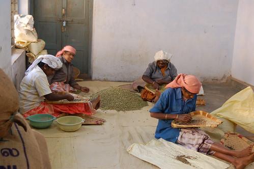 Der Samen wird von vier Frauen mit der Hand aussortiert.