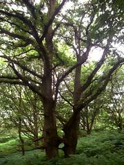 Two Trunked Oak