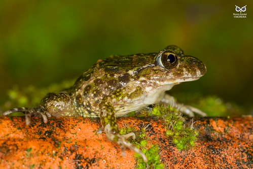 Sapinho-de-verrugas-verdes, Common parsley frog (Pelodytes puntactus)