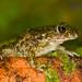 Sapinho-de-verrugas-verdes, Common parsley frog (Pelodytes puntactus) by xanirish
