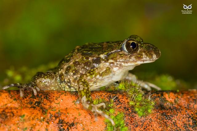Sapinho-de-verrugas-verdes, Common parsley frog (Pelodytes puntactus)