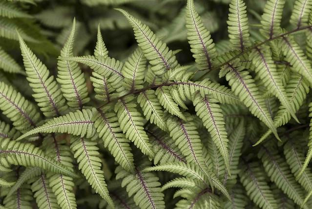 Athyrium niponicum var. pictum; photo by Ivo M. Vermeulen