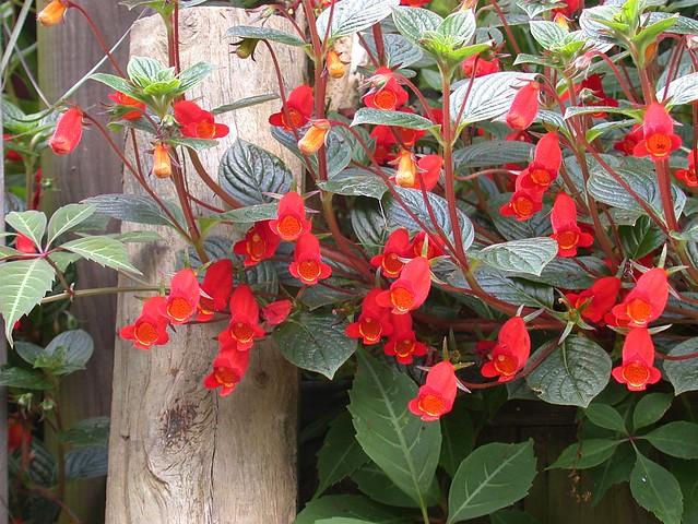 Seemannia nematanthodes