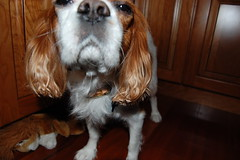 dog breed, animal, dog, welsh springer spaniel, pet, king charles spaniel, english cocker spaniel, spaniel, english springer spaniel, cavalier king charles spaniel, american cocker spaniel, carnivoran,
