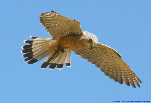 blue england sky bird birds inflight suffolk flight feathers raptor killer avian kestrel birdofprey featheryfriday explore500 vosplusbellesphotos