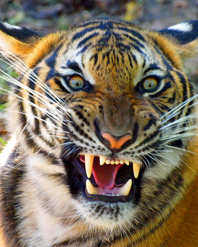 Terrific Pictures of Roaring Tigers - photo#2