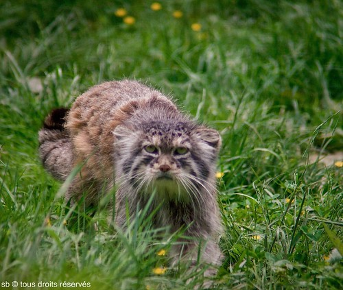 Cat from Pallas-Manul