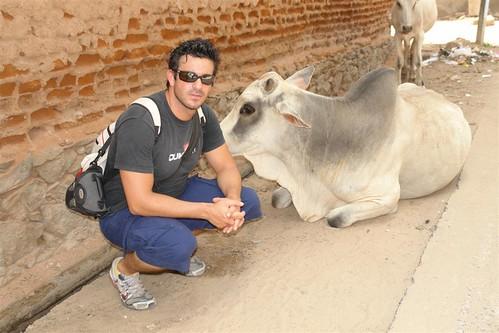 Vaca sagrada Mandawa, La esencia rural de los Haveli - 4068923969 6a58875ca6 - Mandawa, La esencia rural de los Haveli