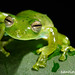 Emerald Glass Frog - Photo (c) Santiago Ron, some rights reserved (CC BY-NC)