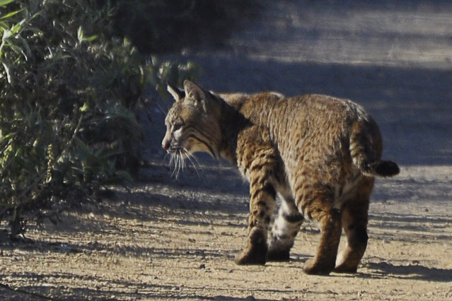 Bobcat Hunting Prey