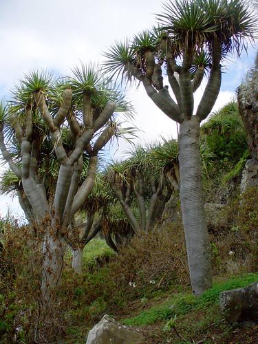 Dracaena tamaranae