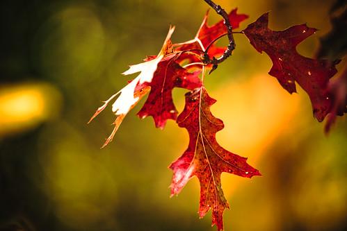 autumn orange fall nature leaves wisconsin photography gold photo leaf oak october midwest image picture explore madison 2009 cherokeemarsh canoneos5d flickrexplore canonef100400mmf4556lisusm hbw happybokehwednesday lorenzemlicka