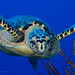 Hawksbill Turtle 121109 5216 by courtneyplatt