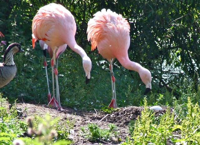 Flamingo nest - photo#44