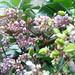 Small photo of Kamaranka flowers