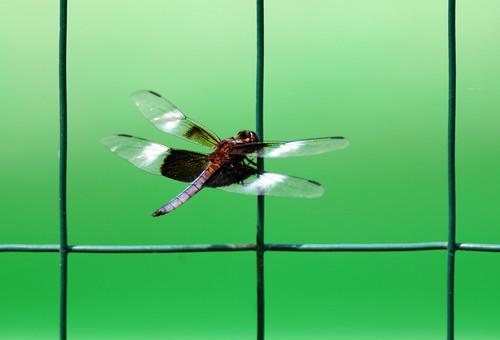 lake newjersey backyard nikon dragonfly brian insects bugs 300mm williamstown widow f28 widowskimmer skimmer d300 kushner libellulaluctuosa nikor tc17e backyardinsects nikond300 williamstownnj bkushner ©brianekushner nikon300mmf28gifedafsvr