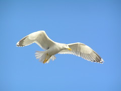 albatross(0.0), gannet(0.0), animal(1.0), charadriiformes(1.0), wing(1.0), european herring gull(1.0), beak(1.0), bird(1.0), flight(1.0), seabird(1.0),