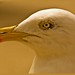 Great Black -backed Gull
