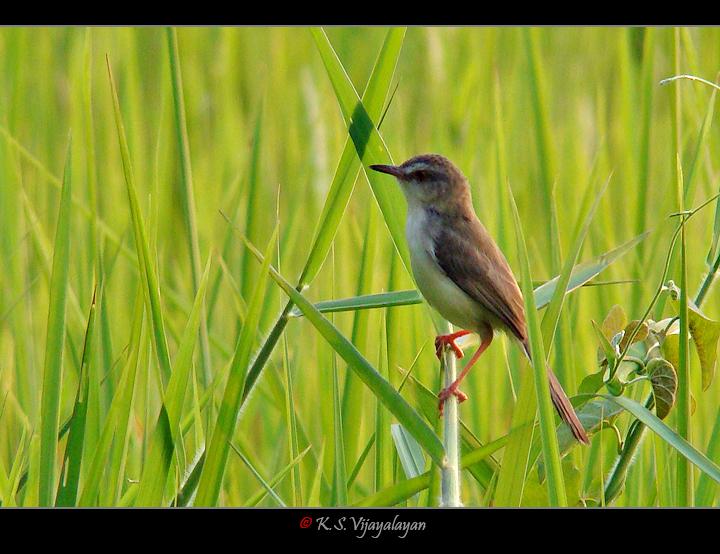 Plain Prinia, Thailand