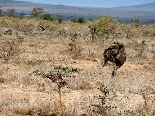 Ostrich, Maasai Mara, Kenya