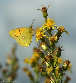 COLIAS crocea[]Butterflies of Sardinia[]