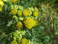 evergreen(0.0), shrub(1.0), flower(1.0), yellow(1.0), plant(1.0), macro photography(1.0), subshrub(1.0), herb(1.0), wildflower(1.0), flora(1.0), common tansy(1.0),