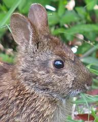Marsh Rabbit portrait