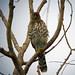 Small photo of Cooper's Hawk, Accipiter cooperii