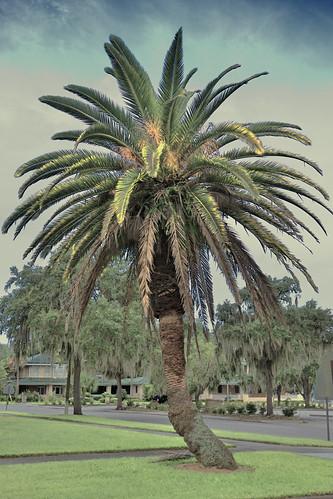tree canaryislanddatepalm bartowflorida filmcentralflorida