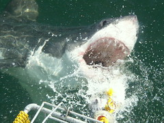 Shark Cage Diving in Hermanus