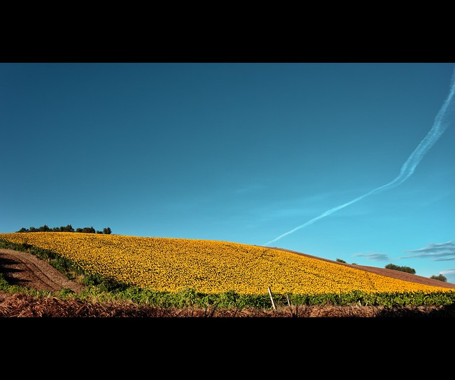 Landscape: Yellow Summer and blue sky.