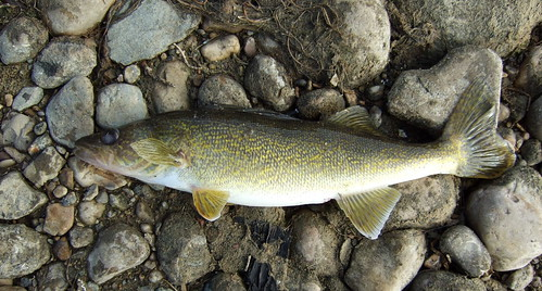 "FISHING LAC ST. ANNE, ""THE NARROWS"", OCTOBER 18 2009 BERNIE'S 3 LB WALLEYE,"