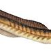Small photo of American Eel (Anguilla rostrata)