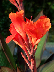 shrub(0.0), gladiolus(0.0), canna lily(1.0), flower(1.0), leaf(1.0), red(1.0), plant(1.0), flora(1.0), petal(1.0),