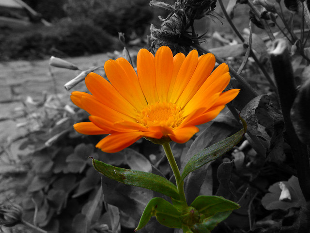 Black And White Photography of Flowers With Color Black Amp White Colour Flower