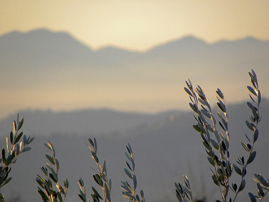 Ulivi - Photo credit: pedrito_el_drito via Foter.com / CC BY-NC-SA