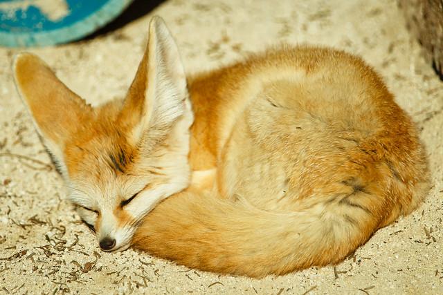 Photo:A Fennec Fox By Shinichiro Hamazaki