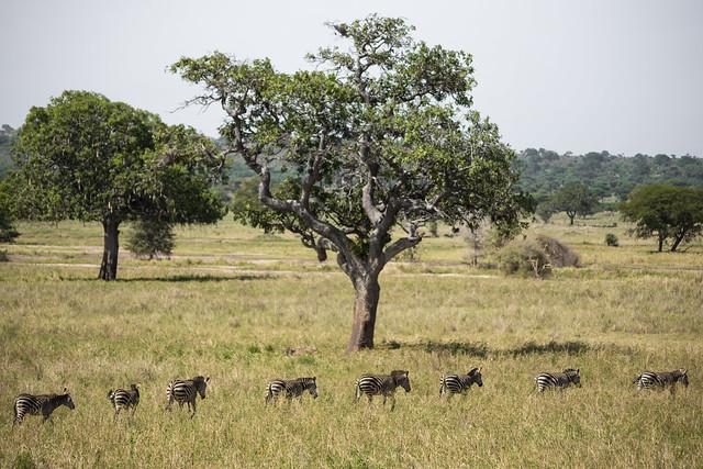 Zebra in a Line