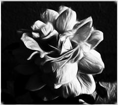 Large Framed BW Rose--Fractalius Pencil