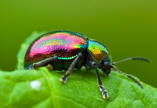Metallic Dogbane Leaf Beetle