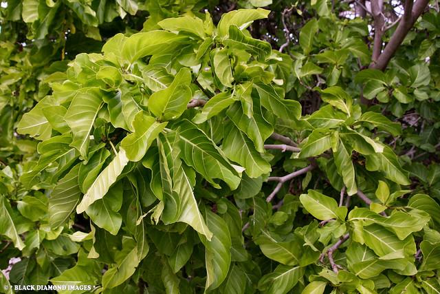 Pisonia grandis - Birdlime Tree, Pisonia, Lady Musgrave Island