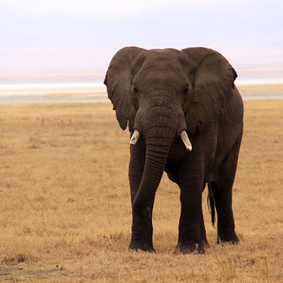 bush elephant at ngorongoro crater