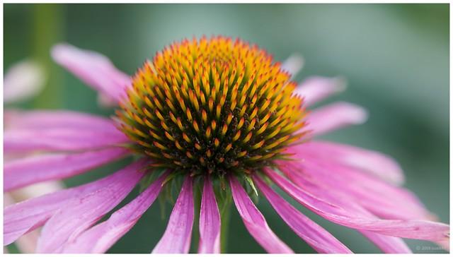 sonnenhut echinacea flickr photo sharing. Black Bedroom Furniture Sets. Home Design Ideas