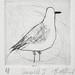 seagull I by BridgetFarmer