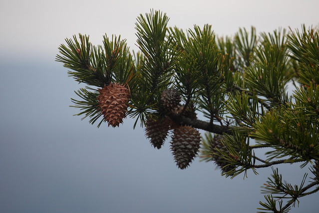 North Fork Pine Tree http://www.flickr.com/photos/shahiddurrani/4123057107/